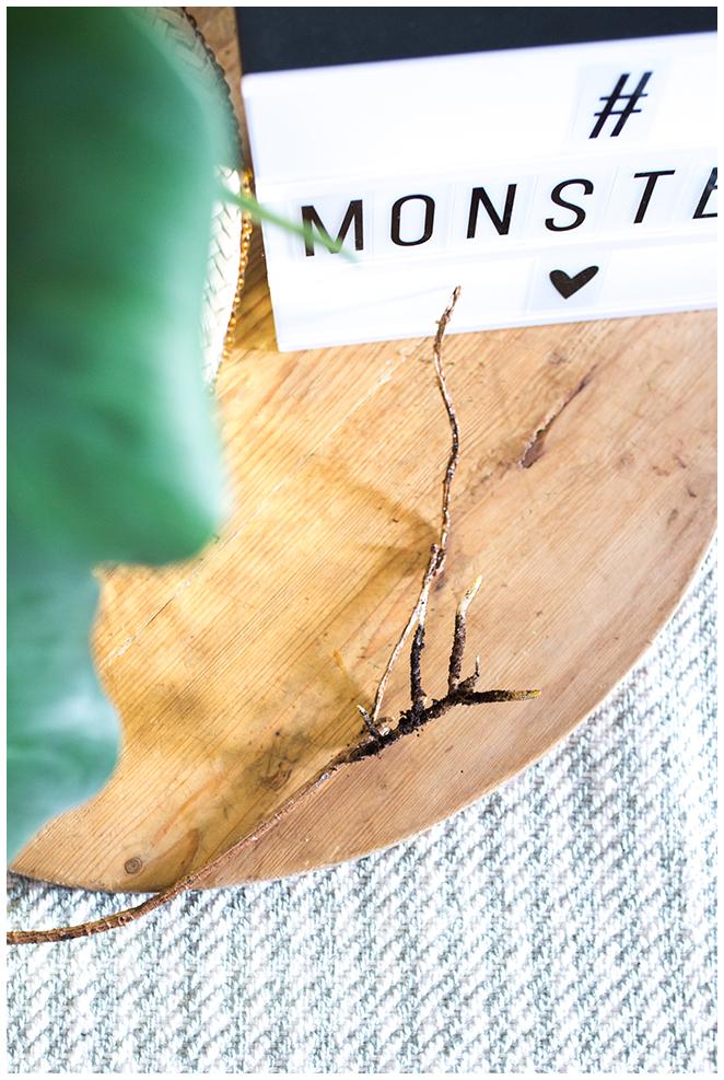 Luftwurzeln der Monstera bilden neue Triebe wenn sie wieder der Erde zugeführt werden