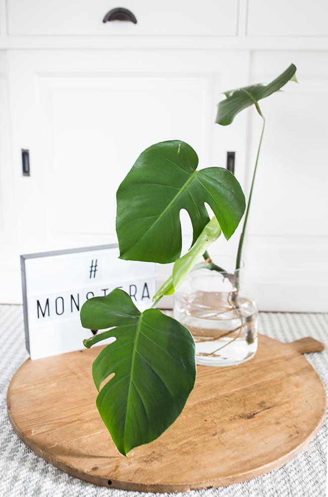 Monstera Ableger in Vase mit Wasser