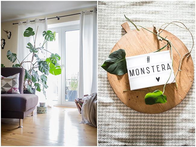 Lebensgroße Monstera im Wohnzimmer und ein Ableger davon