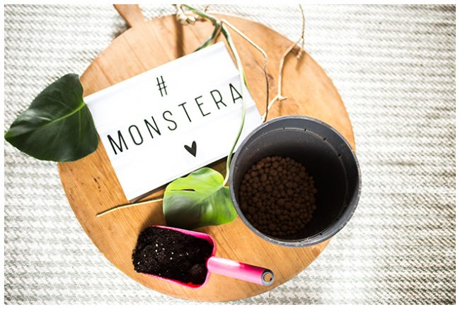 Monstera Ableger Blumentopf, Tonkugeln und frische Grünpflanzenerde
