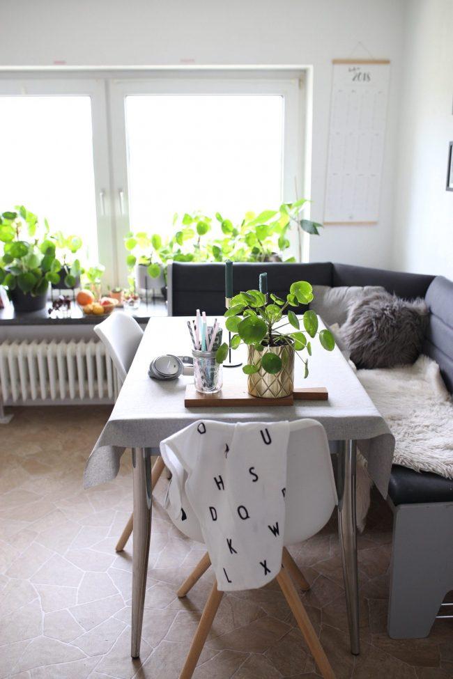 Pilea vermehren - Pfannkuchenpflanze in der Küche
