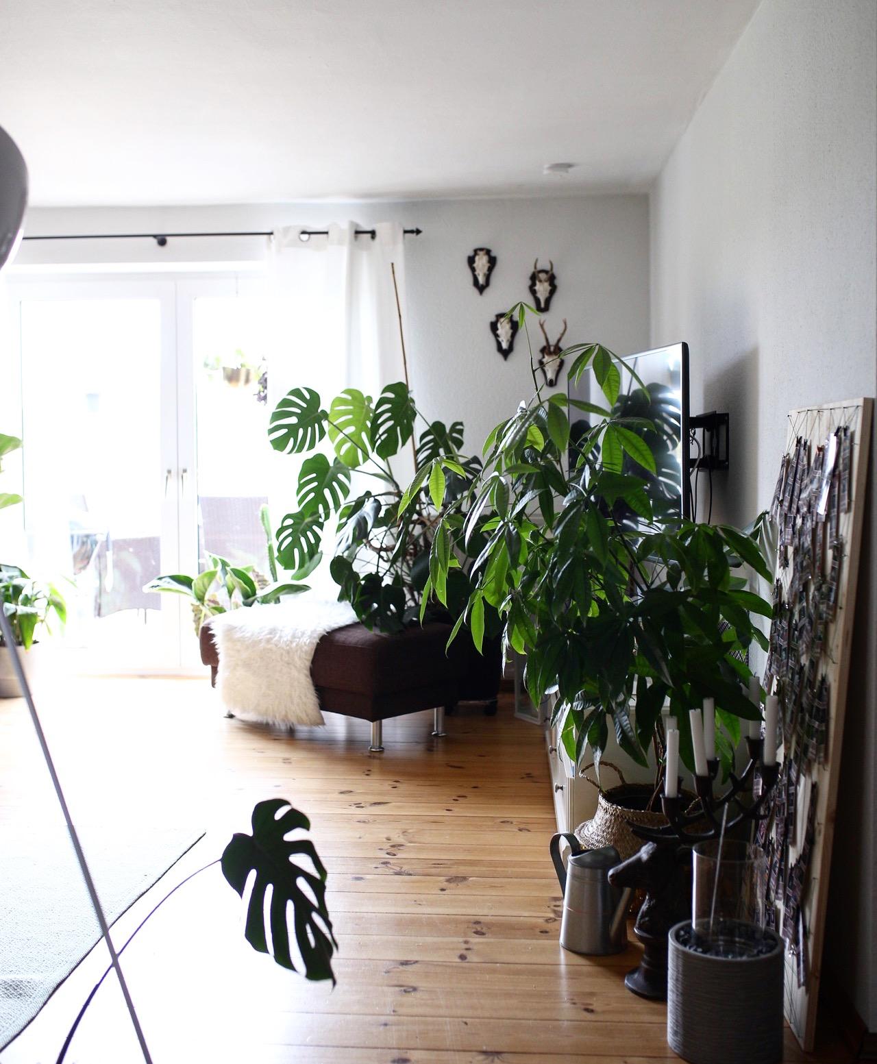 Zimmerpflanzen im Wohnzimmer Monster deliciosa