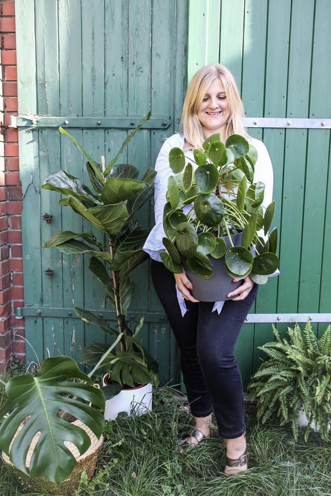 Riesiege Pilea - Bauchnabelpflanze - UfoPflanze