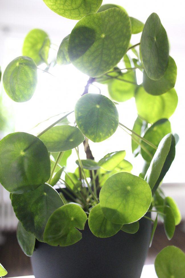 große Pilea Peperomioides - Bauchnabelpflanze - Ufopflanze Mutterpflanze