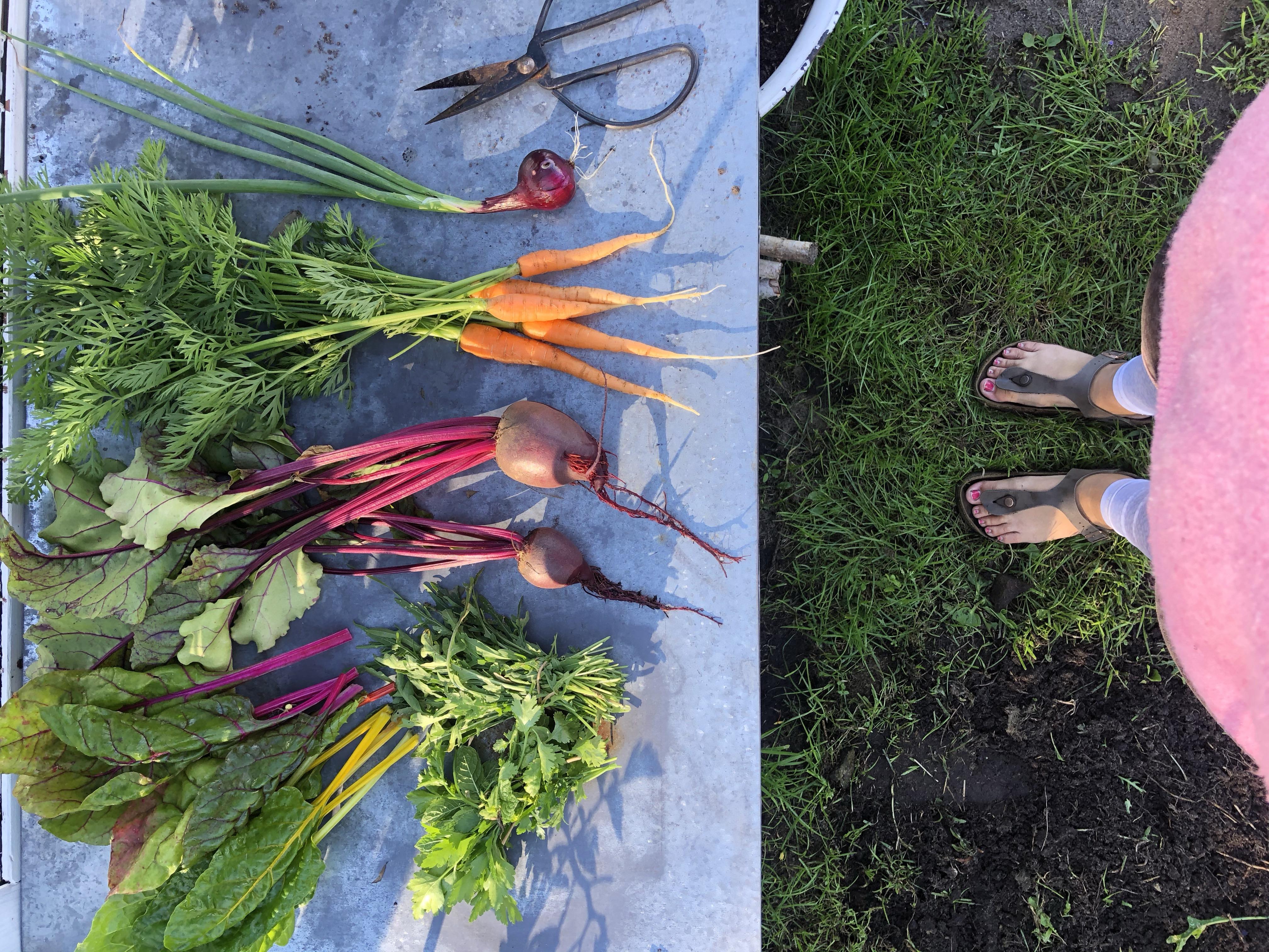 erntefrische Gemüse aus dem Garten